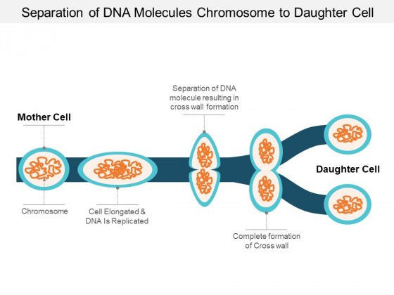 Separation Of Dna Molecules Chromosome To Daughter Cell Ppt PowerPoint Presentation Infographic Template Infographic Template