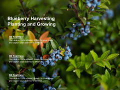 Blueberry Harvesting Planting And Growing Ppt Powerpoint Presentation Styles Example File