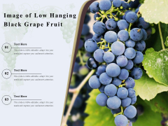 Image Of Low Hanging Black Grape Fruit Ppt PowerPoint Presentation Gallery Guide PDF
