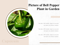 Picture Of Bell Pepper Plant In Garden Ppt PowerPoint Presentation Slides Infographics PDF