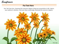 Stock Photo Graphics Of Sunflower For Nature Pwerpoint Slide