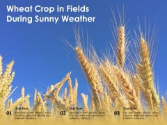 Wheat Crop In Fields During Sunny Weather Ppt PowerPoint Presentation File Example Introduction PDF