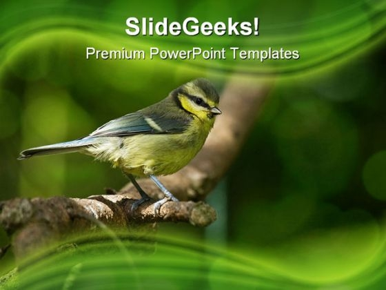 Blue Tit Fledgling Nature PowerPoint Templates And PowerPoint Backgrounds 0211