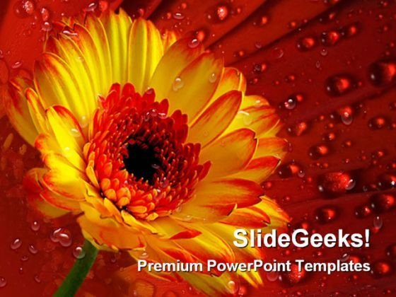 Gerber Daisy With Dew Drops Nature PowerPoint Templates And PowerPoint Backgrounds 0311