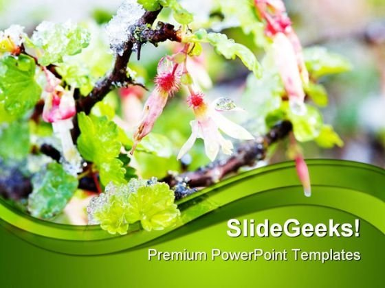 Gooseberry Blossoms In Snow Nature PowerPoint Templates And PowerPoint Backgrounds 0411