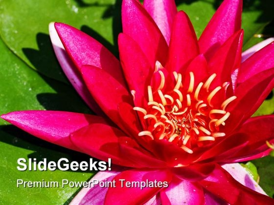 Lotus Flower Beauty PowerPoint Templates And PowerPoint Backgrounds 0311