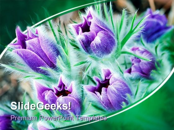 Lush Pasque Flowers Beauty PowerPoint Templates And PowerPoint Backgrounds 0311