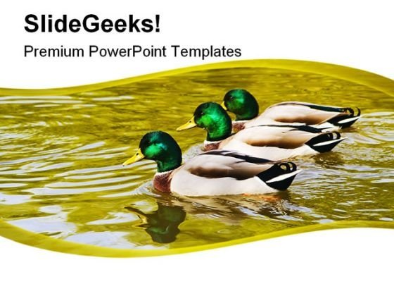 Mallard Duck Family PowerPoint Templates And PowerPoint Backgrounds 0211