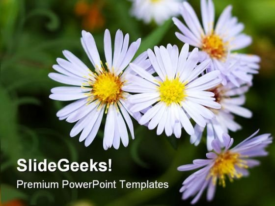 Perennial Aster Flowers Nature PowerPoint Templates And PowerPoint Backgrounds 0211