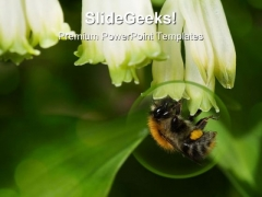 Bumblebee Animals PowerPoint Backgrounds And Templates 1210