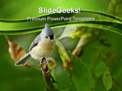 Tufted Titmouse Baeolophus Animals PowerPoint Templates And PowerPoint Backgrounds 0211